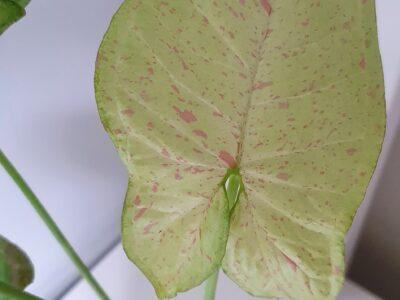Syngonium Confetti ganze Pflanze