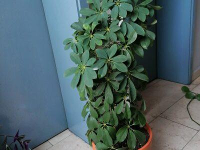 Schefflera Strahlenaralie 80cm