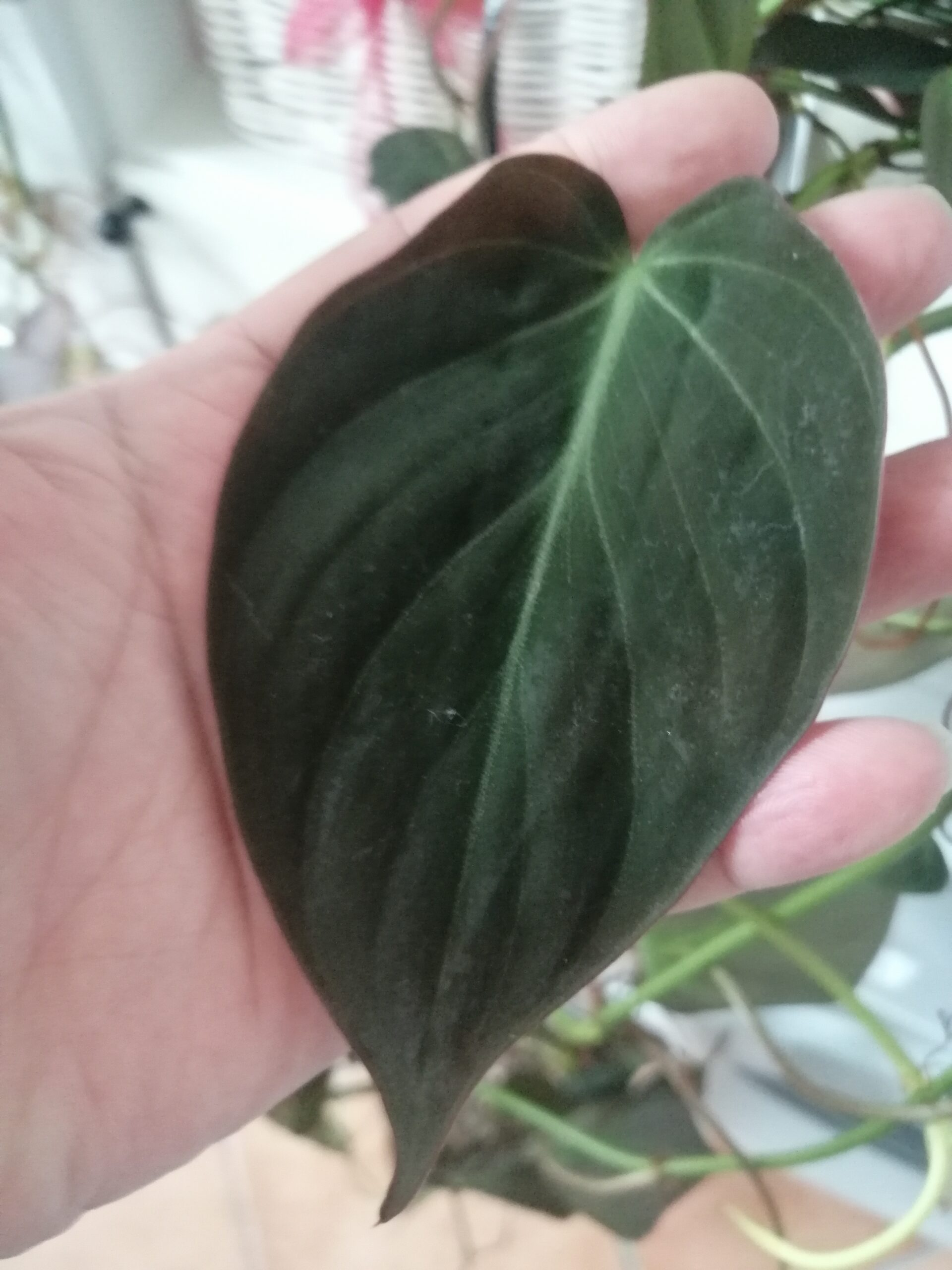 Philodendron micans Ableger