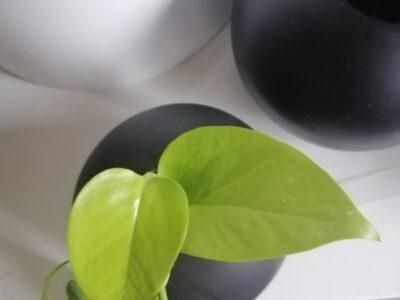 Ableger Epipremnum Neon Pothos/ Efeutute
