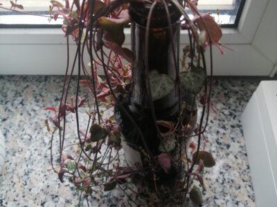 String of Hearts Ableger, Leuchtetblume