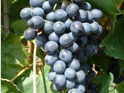 Muscat bleu – Tafeltraube  5 Samen