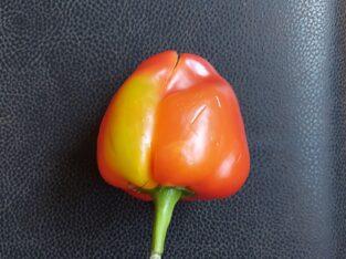 40 Paprika (rot) Samen