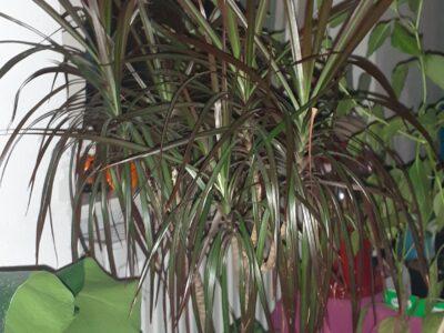 Dracaena marginata 'Margenta' (Drachenbaum)