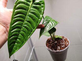 Veitchii Anthurium
