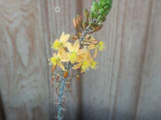 Bulbine Katzenschwanzpflanze Erste-Hilfe-Pflanze