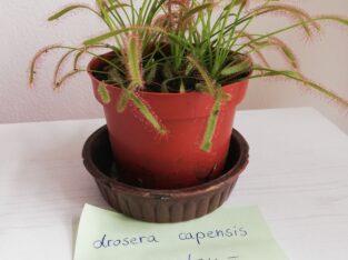 fleischfressende Pflanzen – drosera capensis – Sonnentau