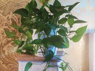 Efeututen mit dem schönen Pflanzentopf
