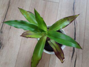 Callisia fragans, Goldbart, ganze Pflanze