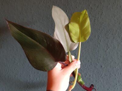 Starterpaket Philodendron