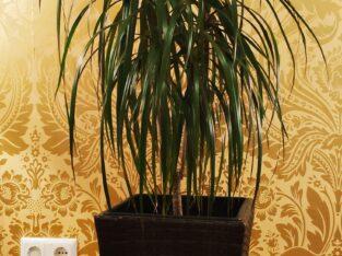 Madagascar Dragon Pflanze