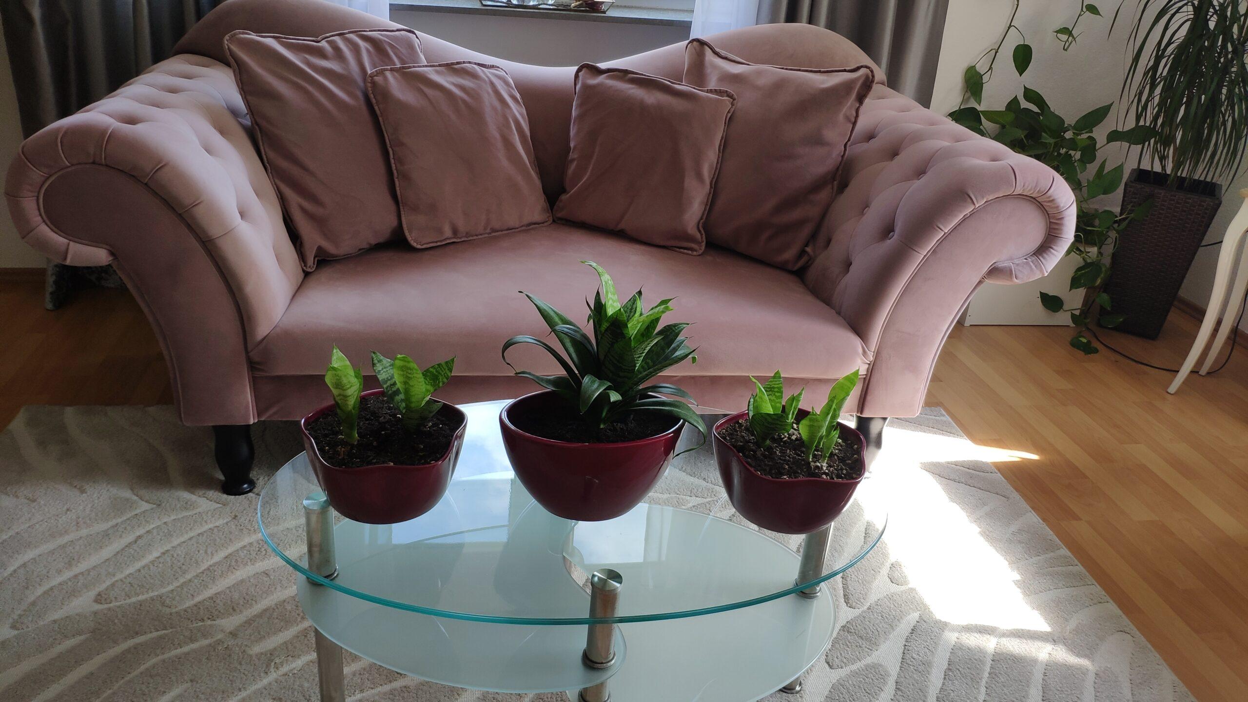 3 Sansevieria mit dem schönen Pflanzentopf