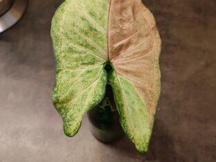Syngonium Confetti
