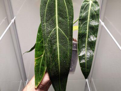 Warocqueanum Anthurium