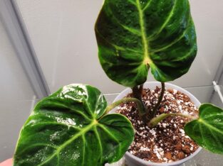 Amazon Sunset Philodendron