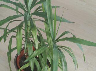 Yuccapalmen sehr grün