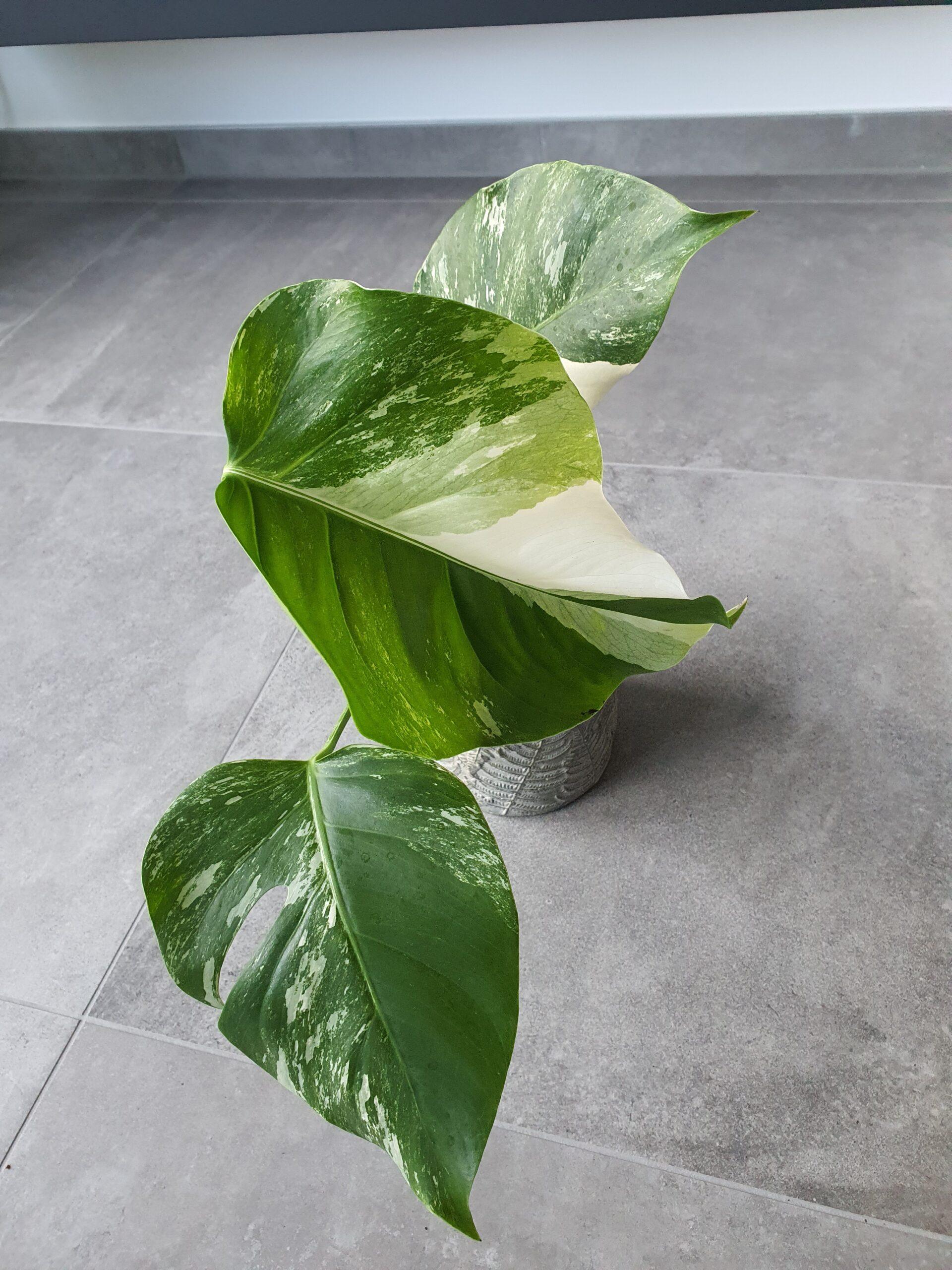 Monstera variegata ganze Pflanze