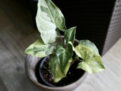 Syngonium Three Kings, Magic Marble, etablierte Pflanze