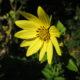 3x Stauden-Sonnenblume_je 3 Rhizome von 3 versch. Sorten