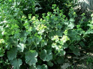 3 x Frauenmantel_Alchemilla_3 Jungpflanzen Biogarten