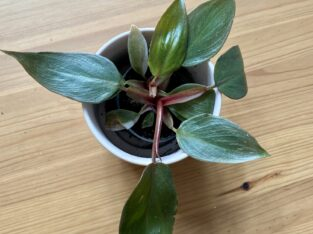 Philodendron Pink Princess Baby Plant etablierte Jungpflanze
