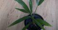Palme winterhart, trachycarpus fortunei, Hanfpalme