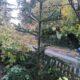Araukarie schön gewachsen, ca.2,5m hoch