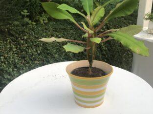 Schöne Pflanze mit schickem Übertopf – Tolles Set