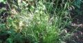 4 x Japan-Segge_Ziergras_immergrün_4 kleine Büschel