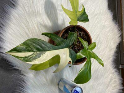Philodendron Florida Beauty ganze Pflanze