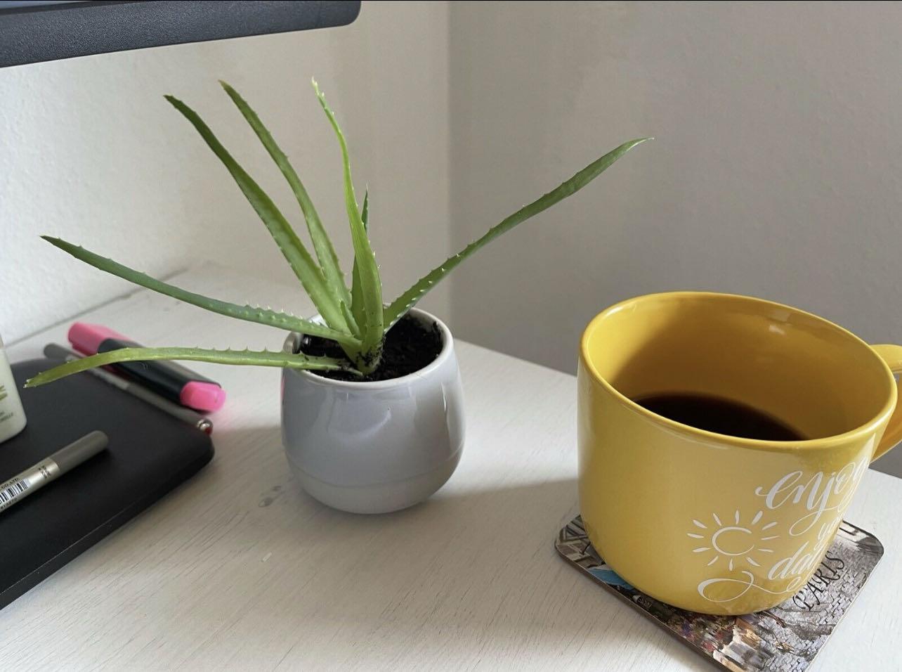 Aloe Vera Zimmerpflanze inkl. Keramik Topf