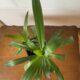 Palmenpflanze