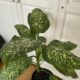 Dieffenbachia Pflanze