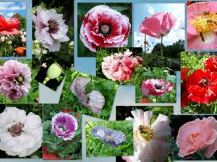 Klatschmohn Mohnsamen, Mischung – Naturgarten Bienenweide