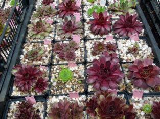 Sempervivum Samen-Mischung, Hauswurz Steinrose Sukkulenten