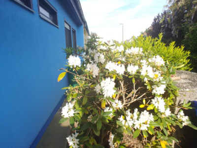 Rhododendron weiß abholfertig ausgebraben