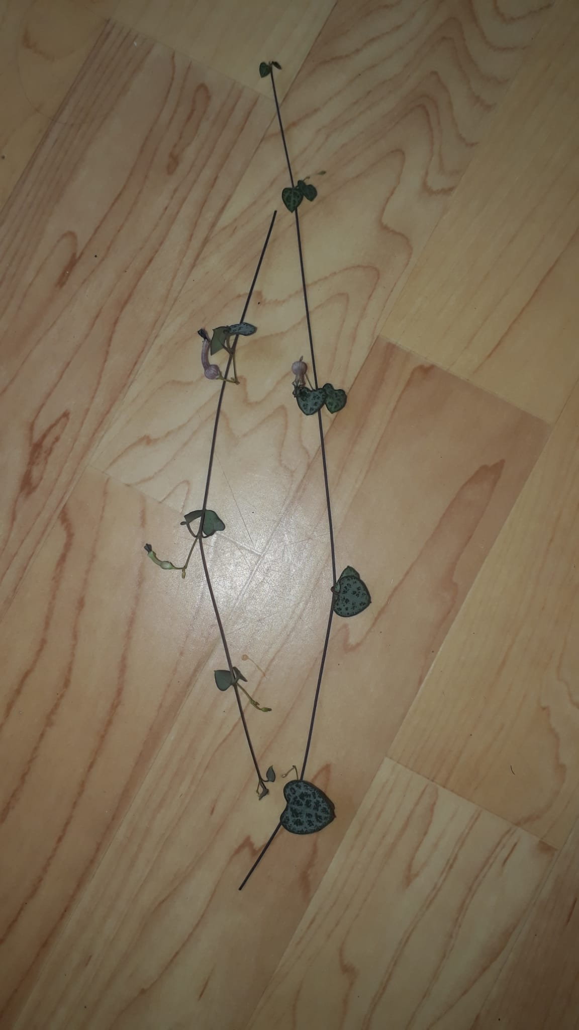 String of Hearts Ableger, Leuchterblume