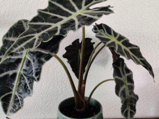 Alocasia Polly / Amazonica
