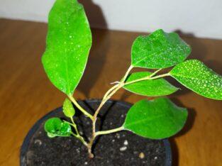 Ficus Benjamina (Birkenfeige)