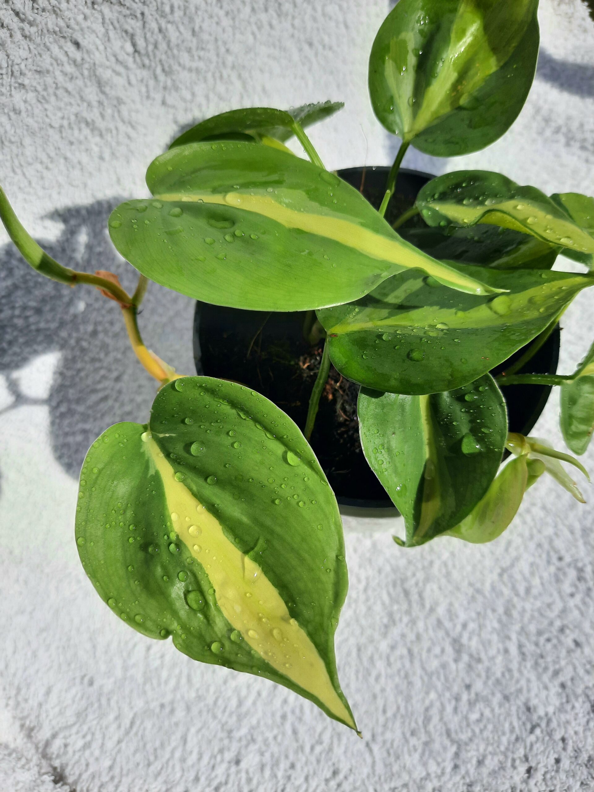 Philodendron secendens Brasil Brazil Komplette Pflanze