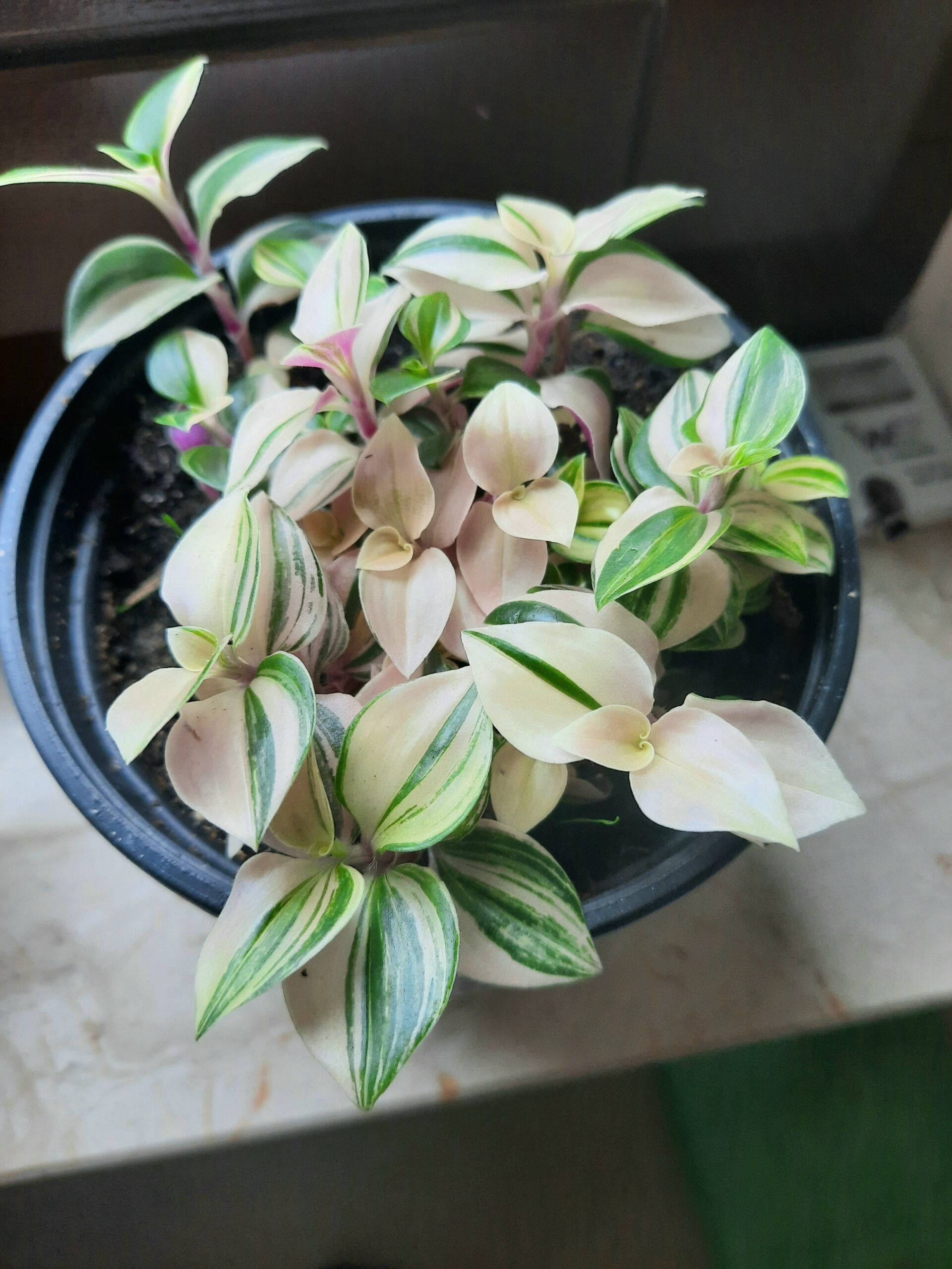 Tradescantia fluminensis Quadricolor Pflanze