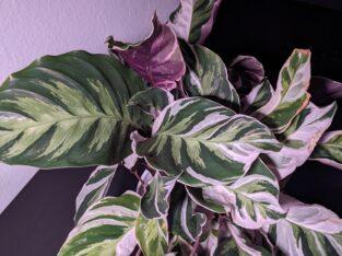 Calathea 'White Fusion' ganze Pflanzen