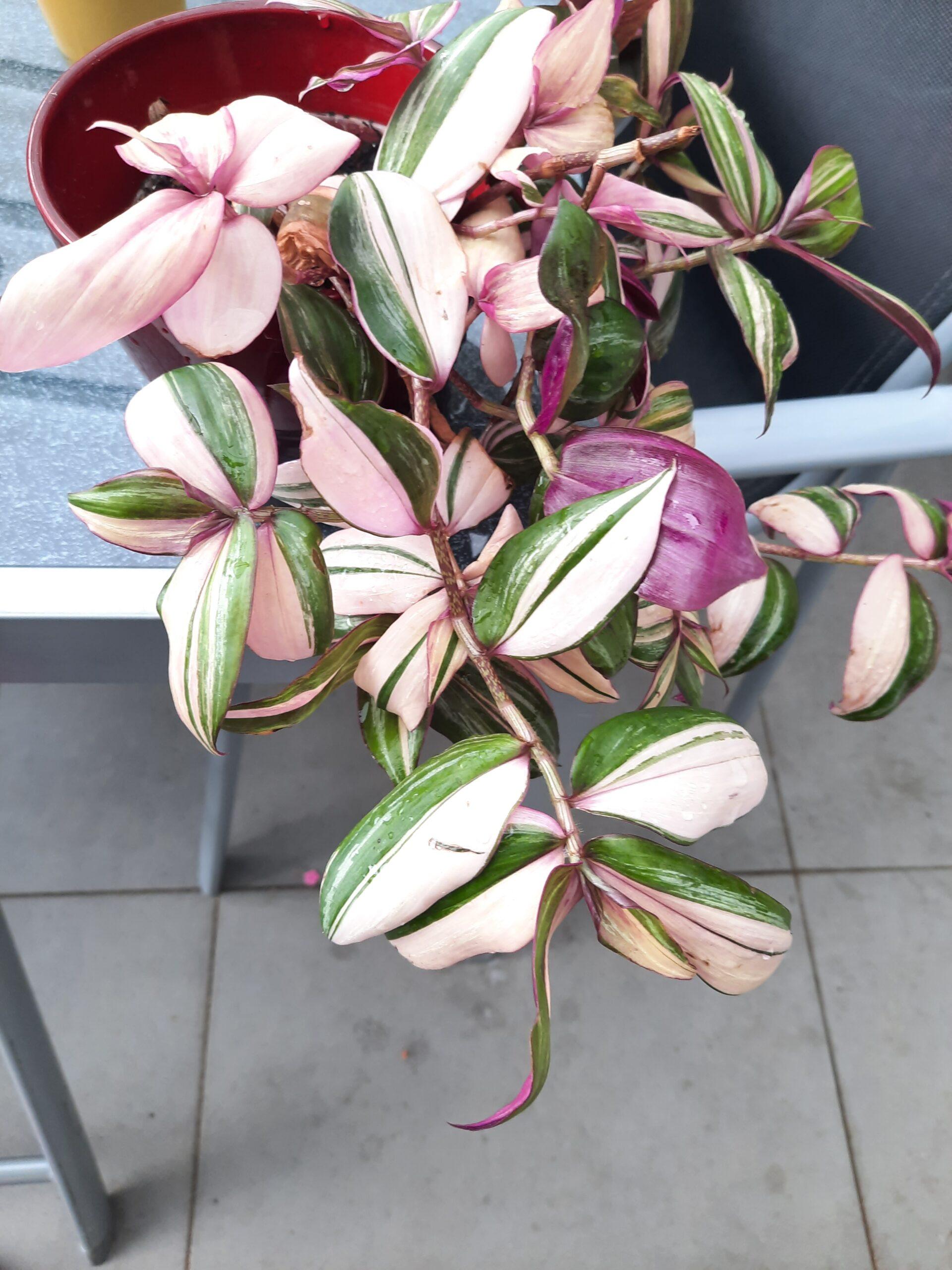 Tradescantia Zebrina Multicolor Ableger Rarität